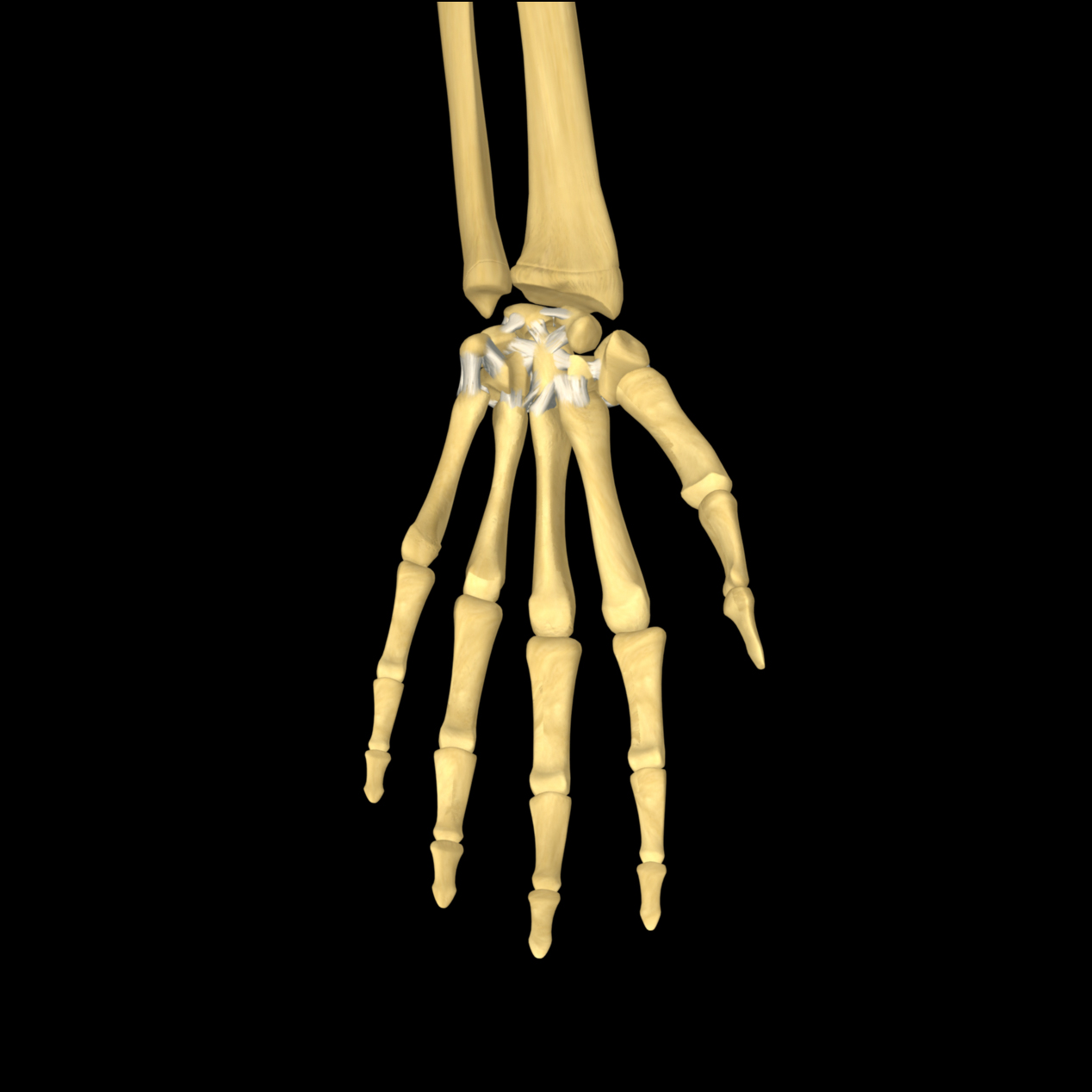 Anatomyexpert Joints And Ligaments Of The Carpal Bones Structure