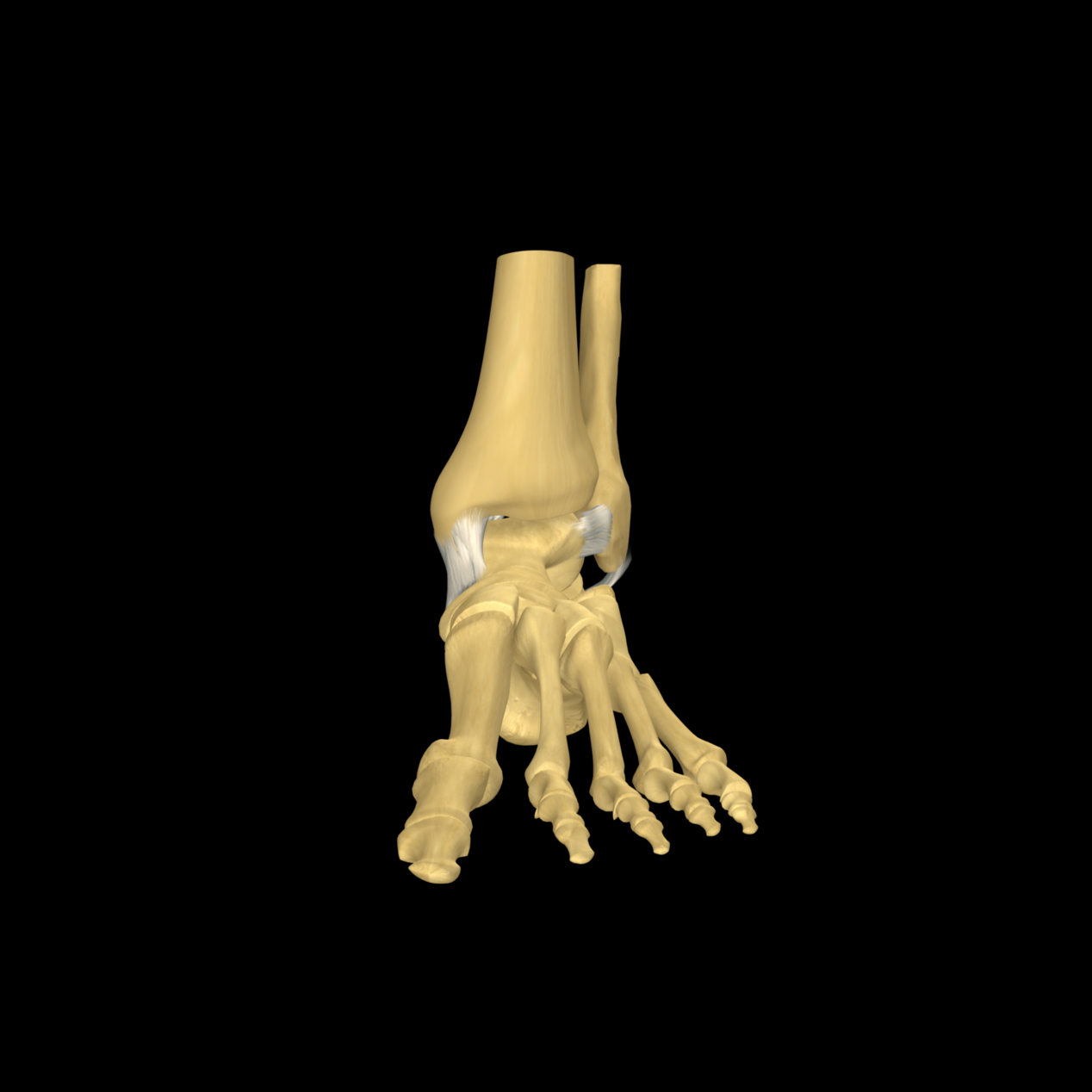 anatomyEXPERT - Deltoid ligament - Structure Detail