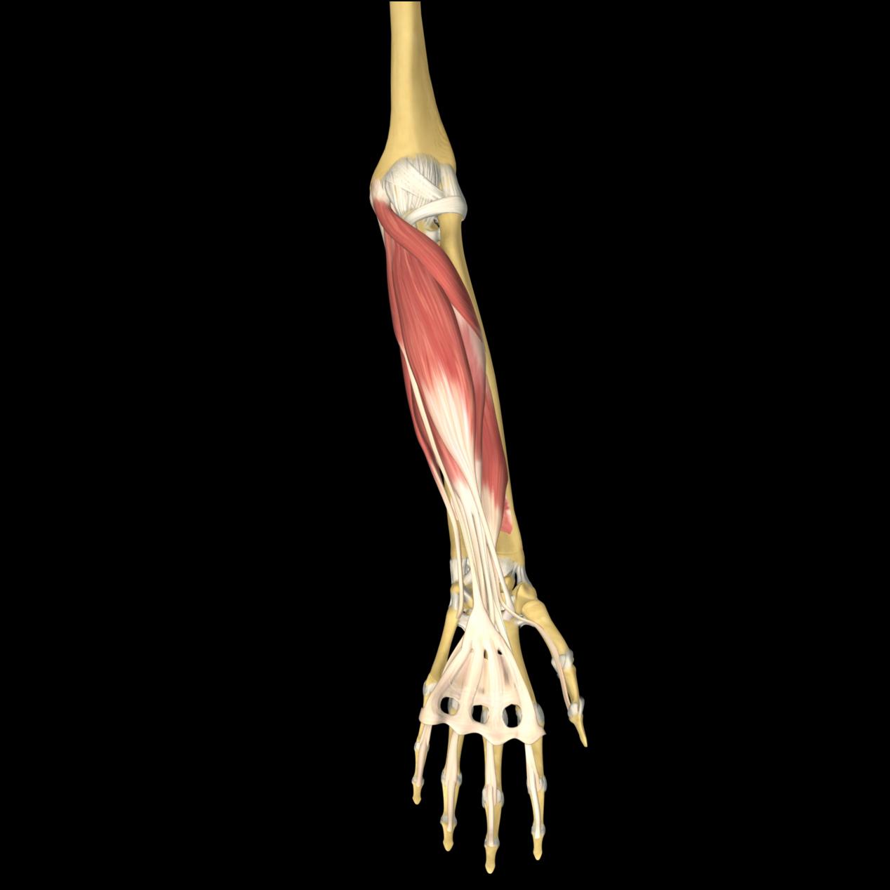 anatomyEXPERT - Dorsal...