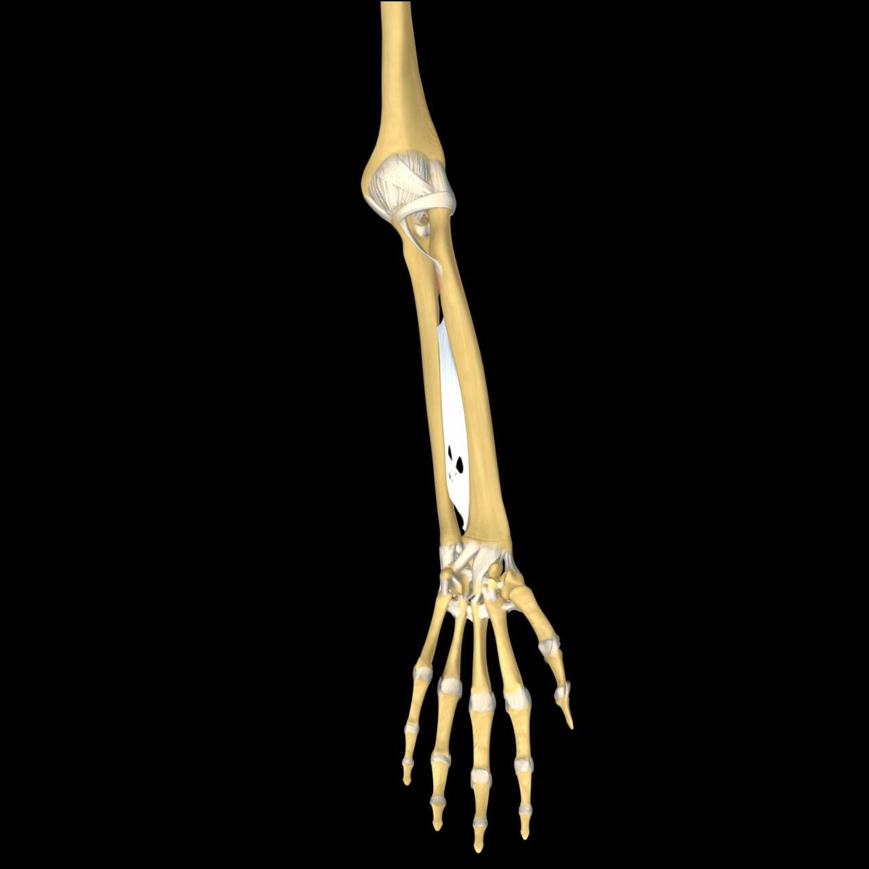 anatomyEXPERT - Flexor...