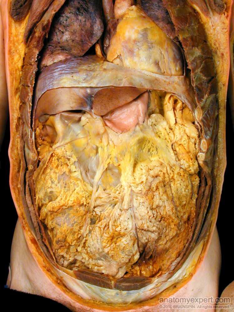 Anatomyexpert Greater Omentum Structure Detail